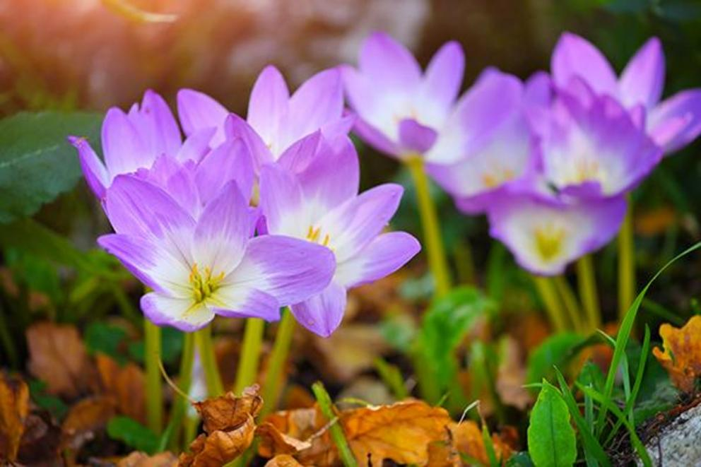 Evaluation of Colchicum autumnalis (Rhazes) as a natural treatment for low back pain
